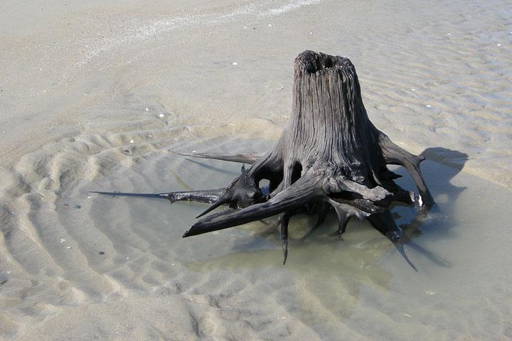 tree stump on a beach, Corolla, North Carolina, May, 2011